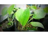 Comfrey Plants - Natural Nutrient Rich Fertilizer - Grow Your Own Plant Food