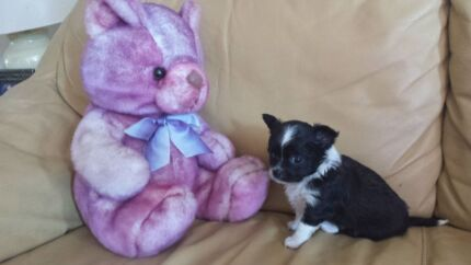 PEDIGREE CHIHUAHUA PUPPY Jimboomba Logan Area Preview