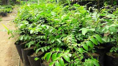 Organic Curry Leaves Plant / Murraya Koenigii Plants AntiOxidant/Cooking 4Plants