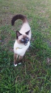 Female Ragdoll - She is super placid & greets you at door Marsden Logan Area Preview
