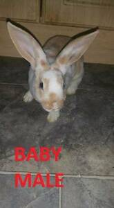 BABY  RABBITS/BUNNIES FOR SALE Elizabeth Playford Area Preview