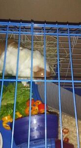 Orange and White Guinea Pig With Red Eyes