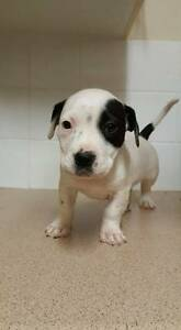 english  staffy Penrith Penrith Area Preview