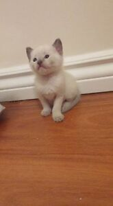 beautiful siamese kittens** only one male left** London Ontario image 1