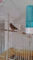 canaries good singer with cage and stand