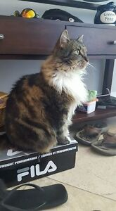 7yr Old Maine Coon mix-Free to good home