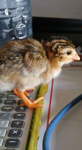 One day old Guinea Keets