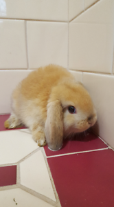 Baby Purebred Ginger Mini Lop Bunnies Caroline Springs Melton Area Preview
