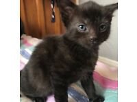 ADORABLE TINY KITTEN FOR SALE -BLUE EMERALD EYES