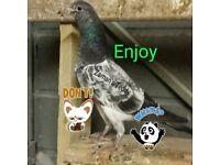 Teddy pakistani pigeons 4 sale