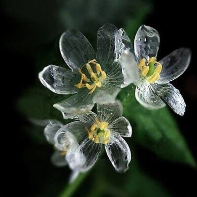 Flower 15 Seeds - Skeleton Flower Diphylleia Grayi Perennial Seeds x 15 - BUY 2 GET 1 FREE - UK