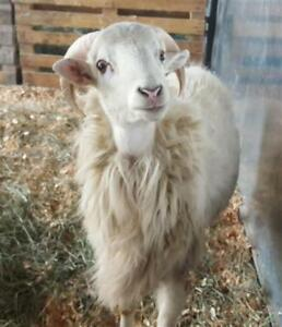 "Adult Male Barnyard - Sheep: ""Pan"""