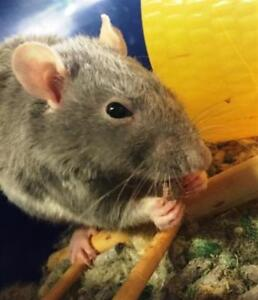"""Young Female Small & Furry - Rat: """"Paulie"""""""