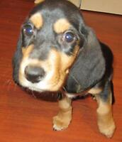 "Baby Female Dog - Basset Hound: ""Liberty"""