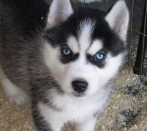 WANTED  - Pure Bred Husky Puppy Molendinar Gold Coast City Preview