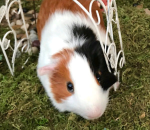 Male baby guinea pig for sale!