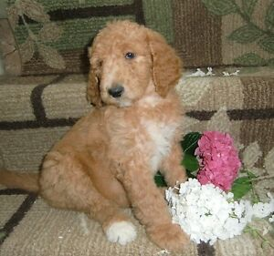 BEAUTIFUL STANDARD POODLE PUPPIES AVAILABLE
