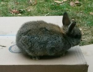 Mini-rex/holland lop baby bunnies for sale