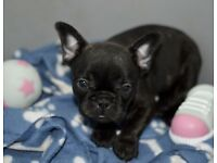 Chunky KC Pedigree French Bulldogs.