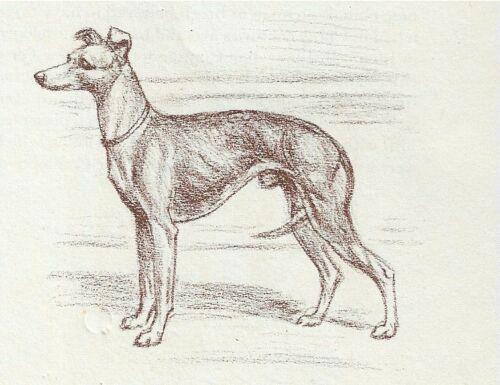Italian Greyhound - Vintage Dog Print - 1954 Megargee
