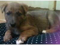 Beautiful lurcher X collie puppy