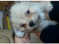 Lhasa x chihuahua pups