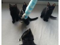 4 Black And White Kittens For Sale