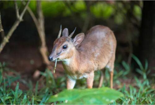 Royal antelope skull, world's smallest antelope with no missing bone