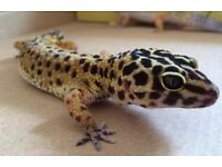 Female adult leopard gecko