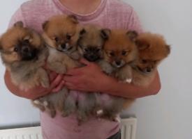 Pomeranian Pups * Ready for loving homes*