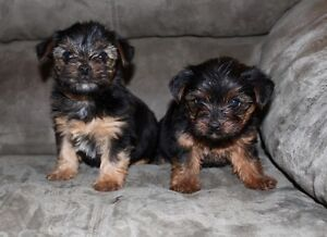 Adorable Purebred Yorkshire Terrier Puppies