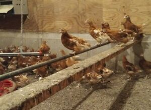 Young Bovan Laying Hens