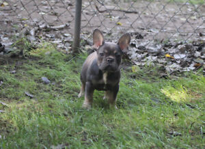 CKC registered pure bred French Bulldogs