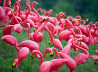 "WISH SOMEONE ""HAPPY BIRTHDAY"" WITH PINK FLAMINGOS"
