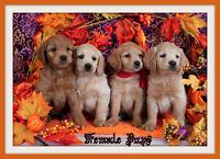 Mini-GoldenDoodle F1 Puppies