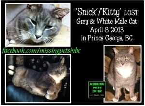 Lost grey and white tabby - has tattoo