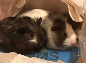 Two guinea pig babies for adoption