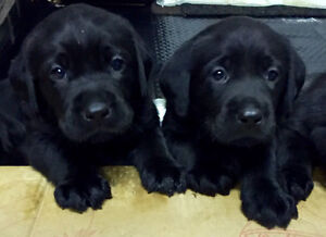 Beautiful purebred Labrador retriever black puppies!