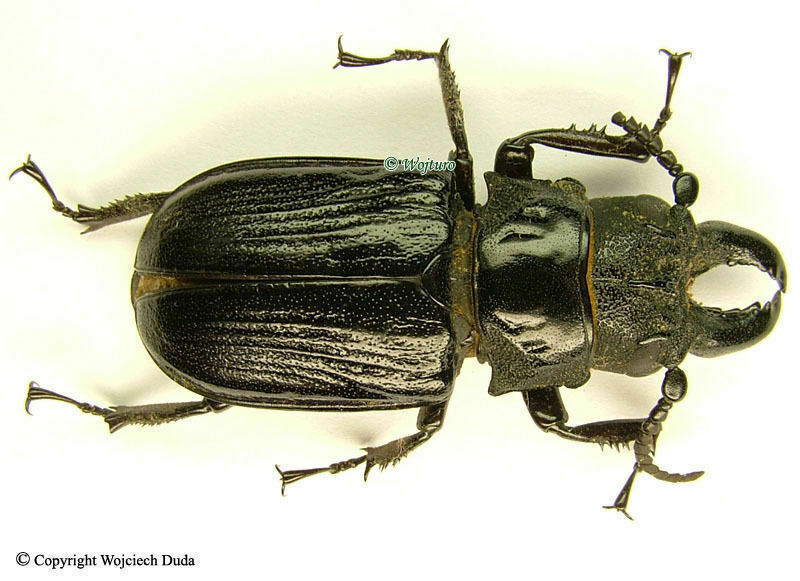 Cantharocnemis pilicipennis - pair, 42mm and 43mm, great! A1 / A-