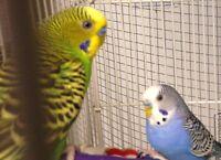 Parakeet/budgies