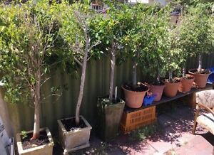 FICUS TREES/PLANTS Highgate Perth City Area Preview