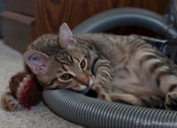 NEUTERED male kitten looking for home  (Fairview)