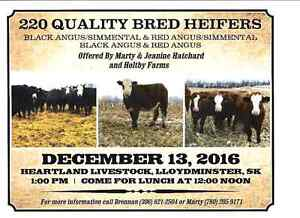 220 Quality Bred Heifers for sale