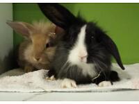 6 Baby rabbits lop/lionhead