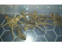 Hypo trans leatherback bearded dragon babys