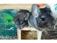 2 chinchillas with cage