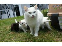 Turkish angora white Longhair chocolate Brown kittens 2 female male cats Bombay