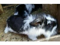 minilop lionhead rabbits