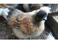 3 brown silkie for sale