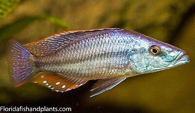 MALE Dimidiochromis compressiceps Malawi Eyebiter African Cichlid 1.5 inch